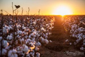 Cotton Sunset Glow